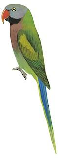 Psittacula alexandri fasciata