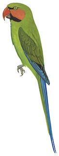 Psittacula longicauda tytleri