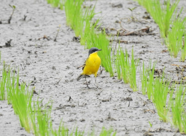 Eastern Yellow Wagtail (Manchurian)