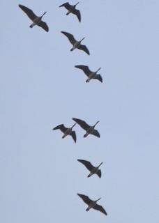 Cackling Goose, ML152161231