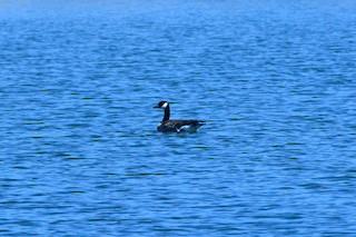 Canada Goose, ML152244811