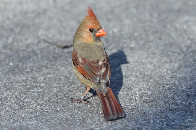 Definitive Basic female Northern Cardinal.