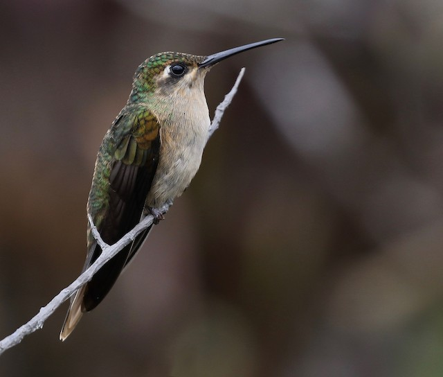 Buff-breasted Sabrewing