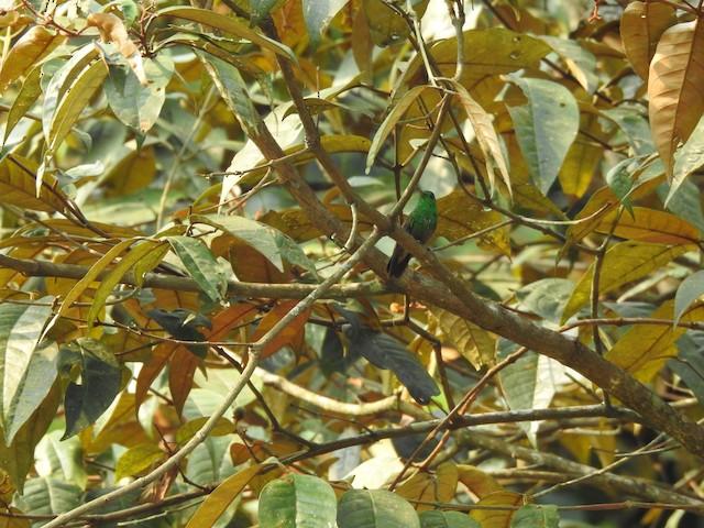 Green-bellied Hummingbird
