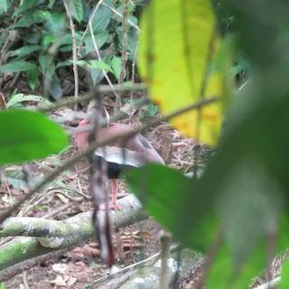 Black-bellied Whistling-Duck, ML152545071