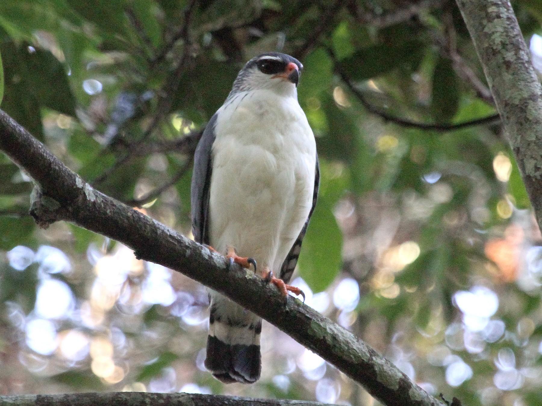 White-browed Hawk - Stephen Gast