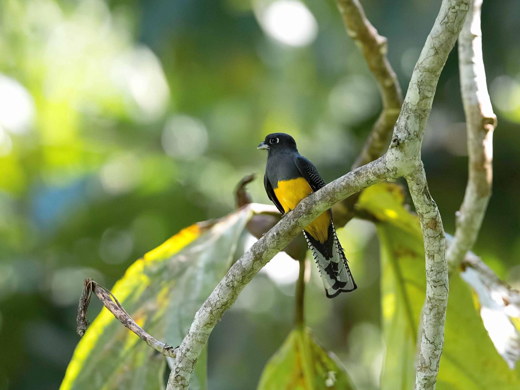 Amazonian Trogon - Shailesh Pinto