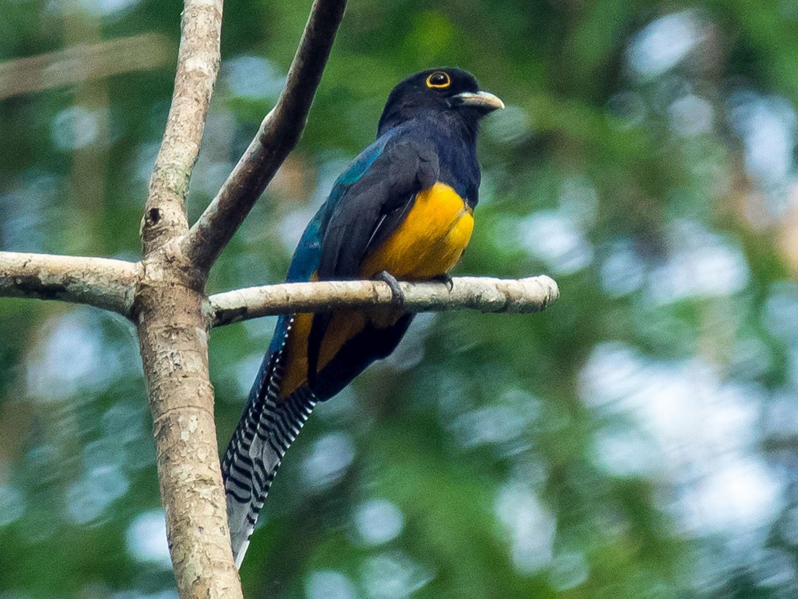 Amazonian Trogon - Phil Kahler