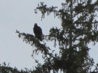 Turkey Vulture, ML152951671