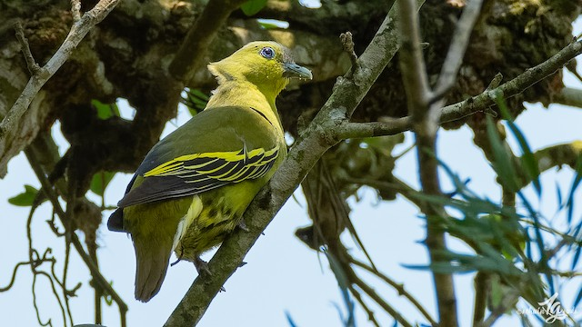 Gray-fronted Green-Pigeon
