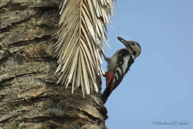 Sind Woodpecker