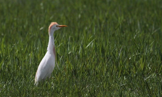 Cattle Egret (Western)