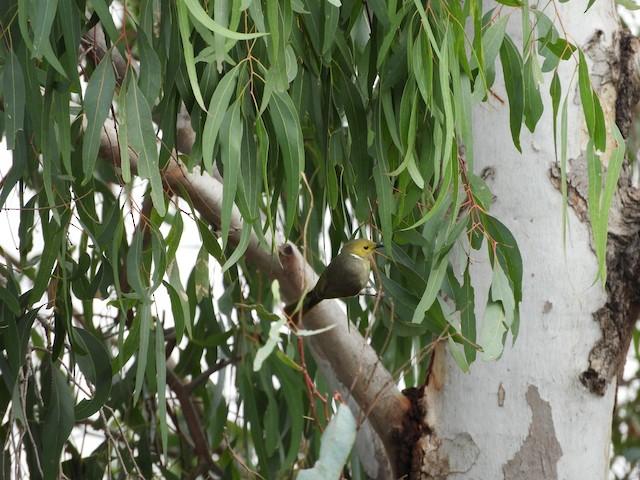 White-plumed Honeyeater