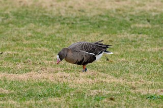 Lesser White-fronted Goose, ML153675971