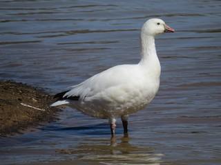 Ross's Goose, ML153938781