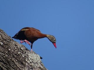 Black-bellied Whistling-Duck, ML154021931