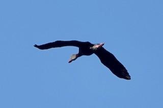 Black-bellied Whistling-Duck, ML154187081