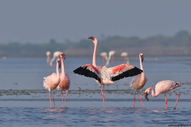 ©Rahul  Singh - Lesser Flamingo