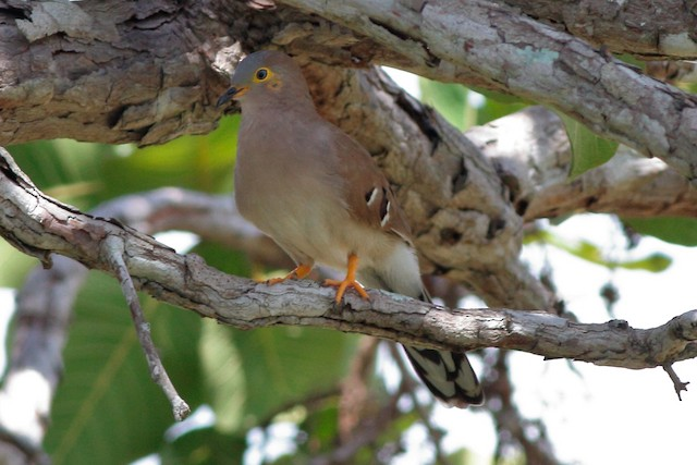 Long-tailed Ground Dove