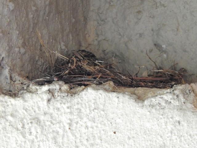 Ashy Flycatcher chick in nest.