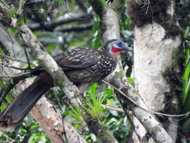 Band-tailed Guan