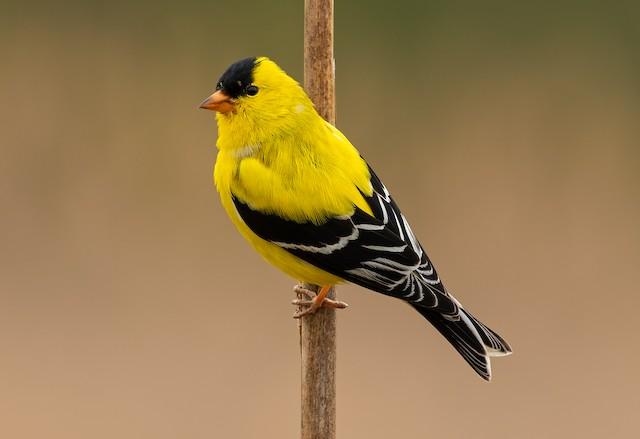 ©Don Danko - American Goldfinch