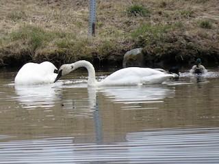 Trumpeter Swan, ML155213631