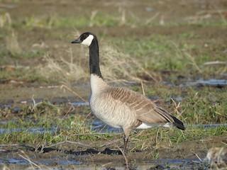 Canada Goose, ML155222781