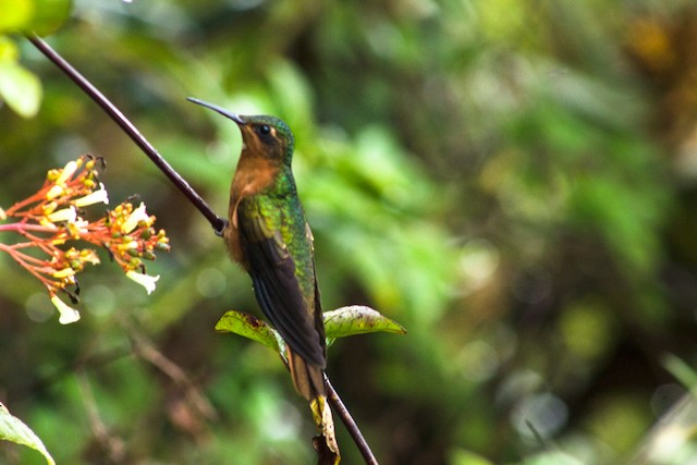 Rufous-breasted Sabrewing