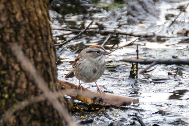 ©Brian Murphy - Swamp Sparrow