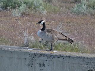 Canada Goose, ML155791701