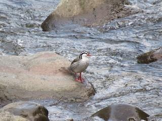 Torrent Duck, ML155809241