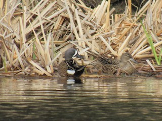 Blue-winged Teal, ML155822981
