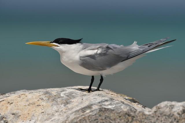 Sandwich Tern (Cayenne)