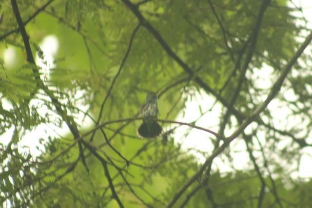 Gray-breasted Sabrewing