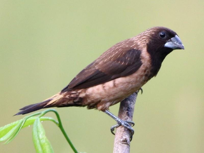 Black-throated Munia - Vignesh Bhat