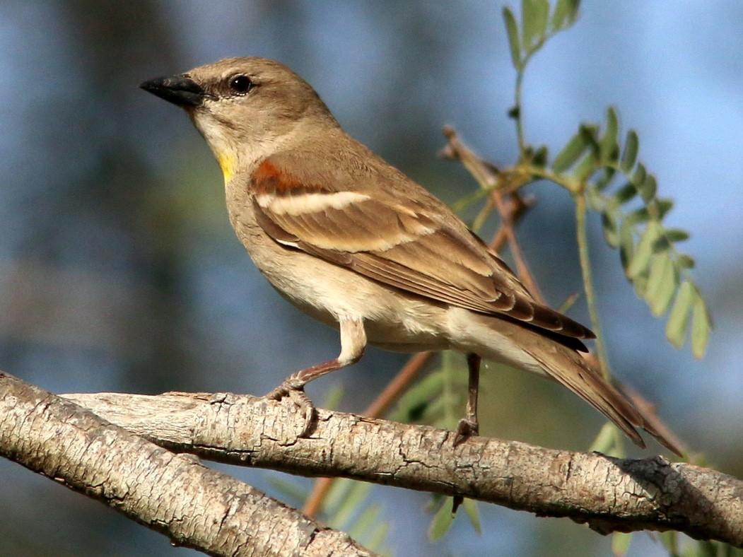 Yellow-throated Sparrow - Yashar Sadafzadeh