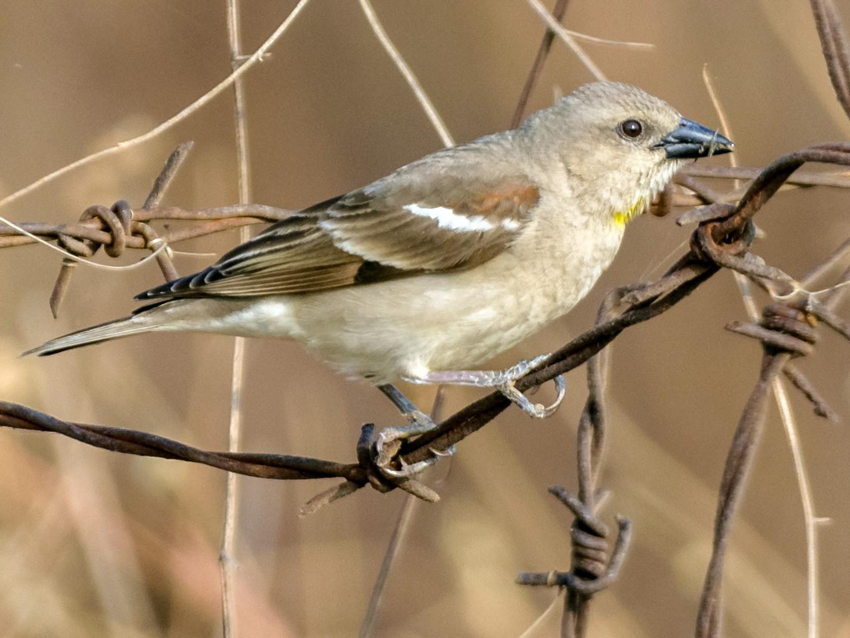 Yellow-throated Sparrow - Balaji P B