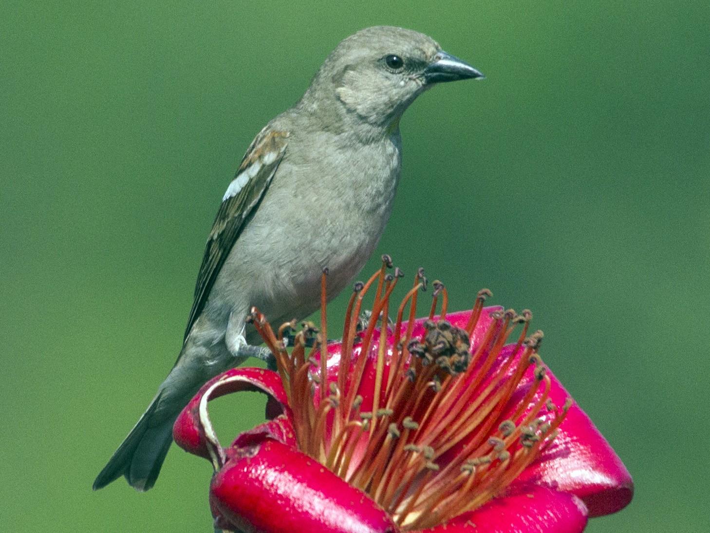 Yellow-throated Sparrow - Pratik  Dixit