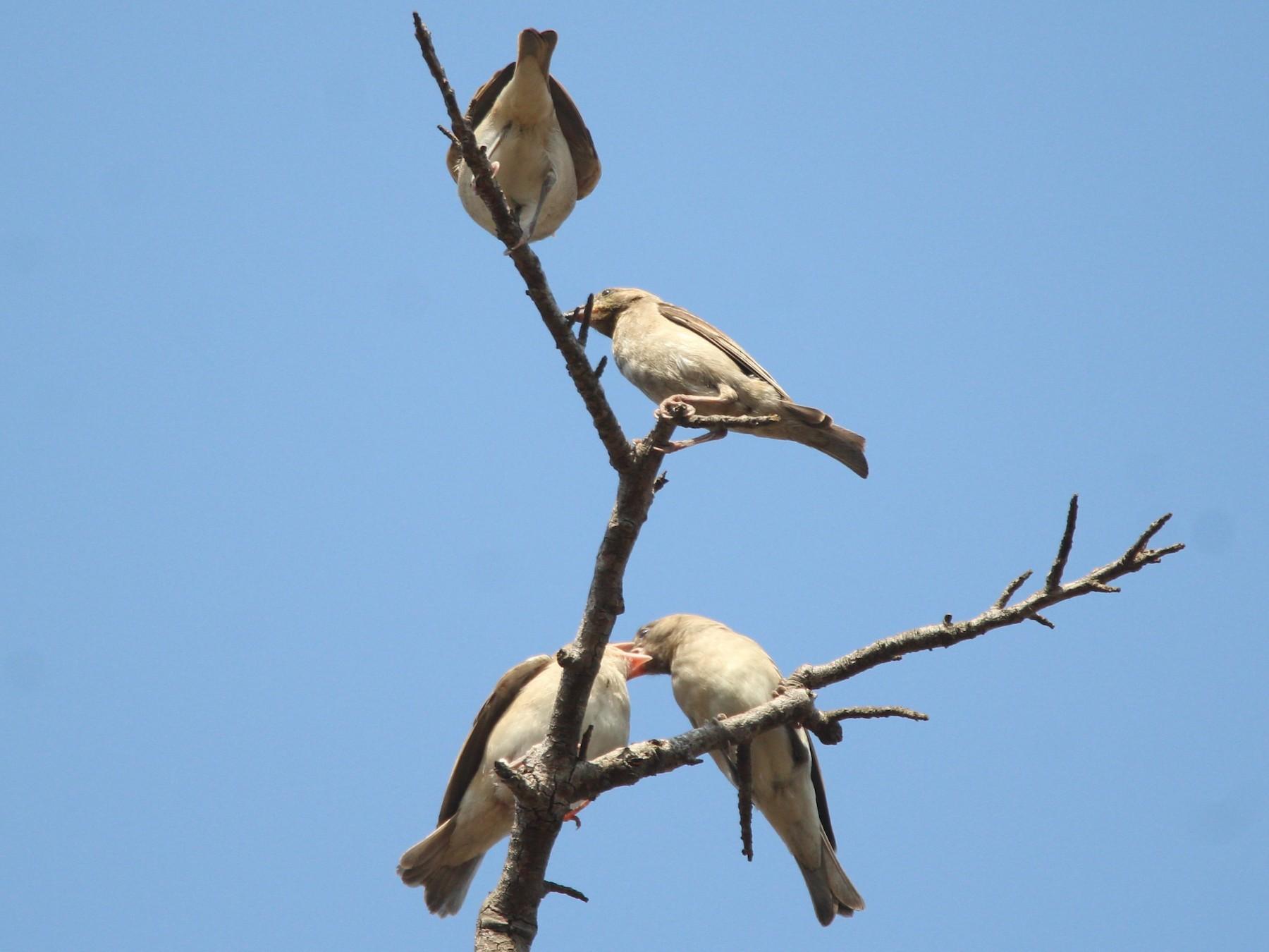 Yellow-throated Sparrow - Aravind Amirtharaj