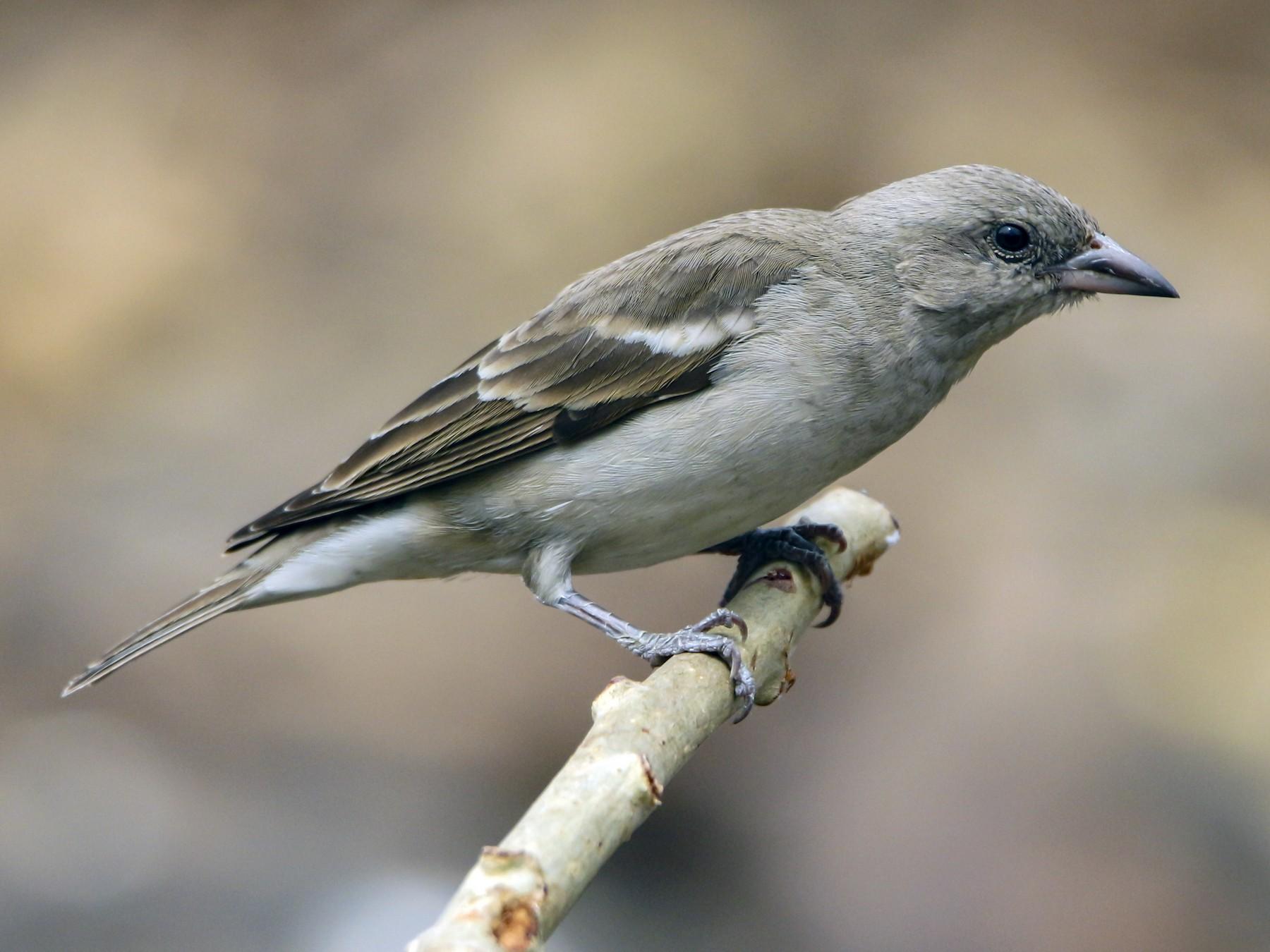 Yellow-throated Sparrow - Sachin Kumavat