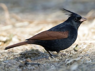 - Crested Bunting