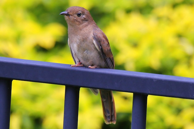Chestnut-breasted Cuckoo