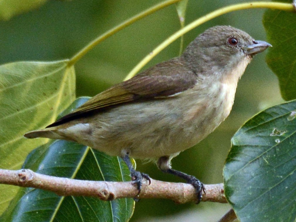 Thick-billed Flowerpecker - Gaja mohanraj