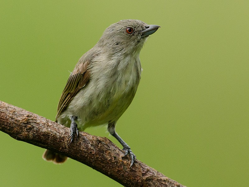 Thick-billed Flowerpecker - Sharma BC