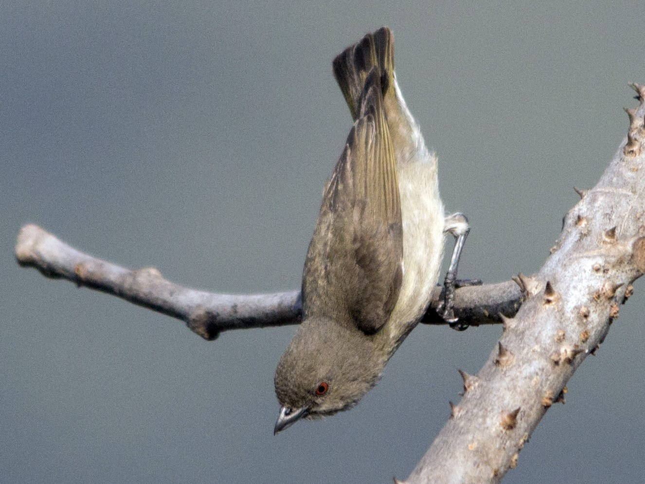 Thick-billed Flowerpecker - Pratik  Dixit