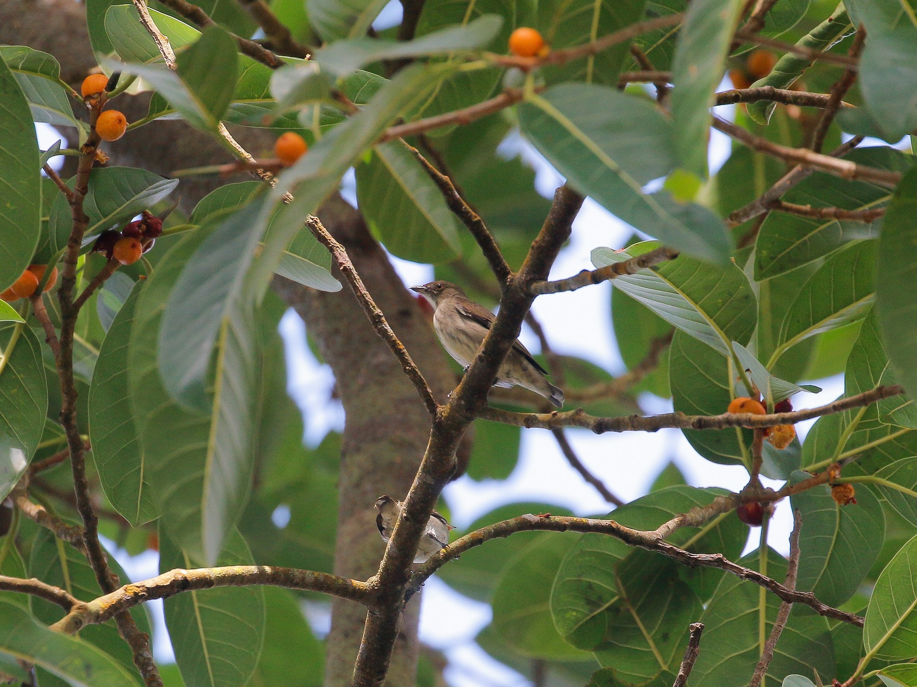 Thick-billed Flowerpecker - Neoh Hor Kee
