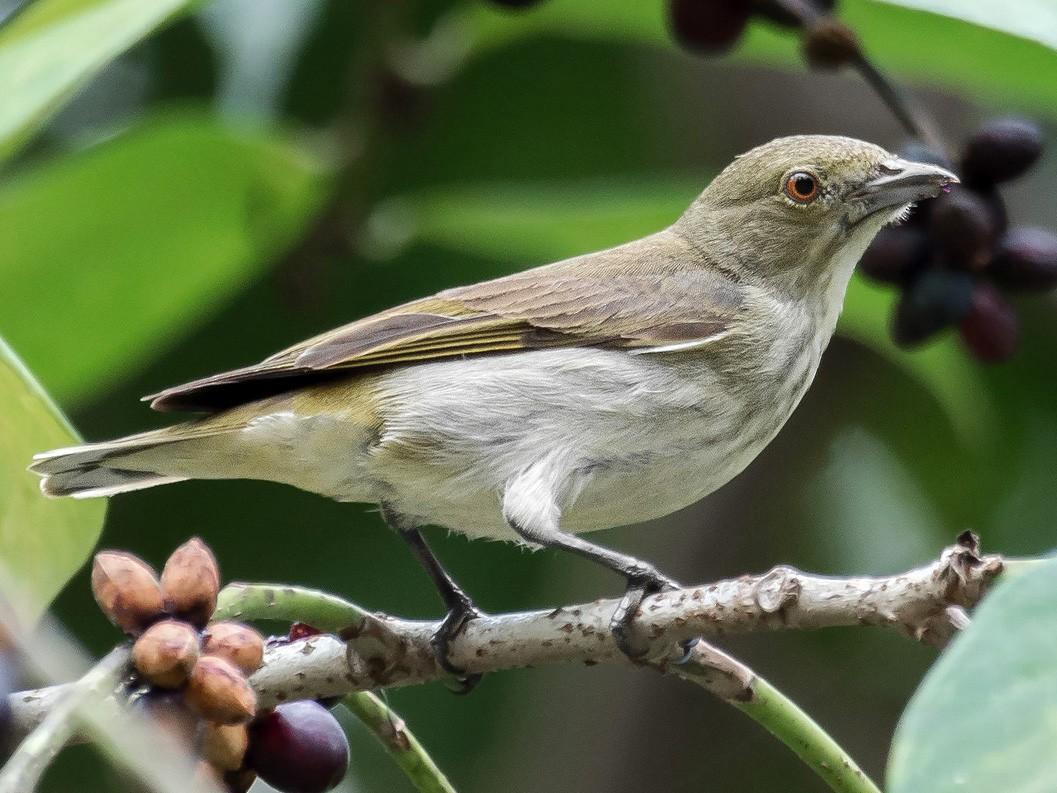 Thick-billed Flowerpecker - Natthaphat Chotjuckdikul