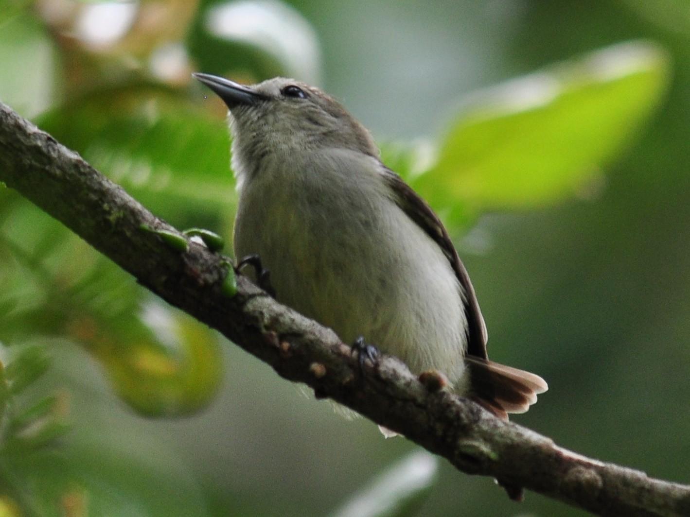 Nilgiri Flowerpecker - Hareesha AS