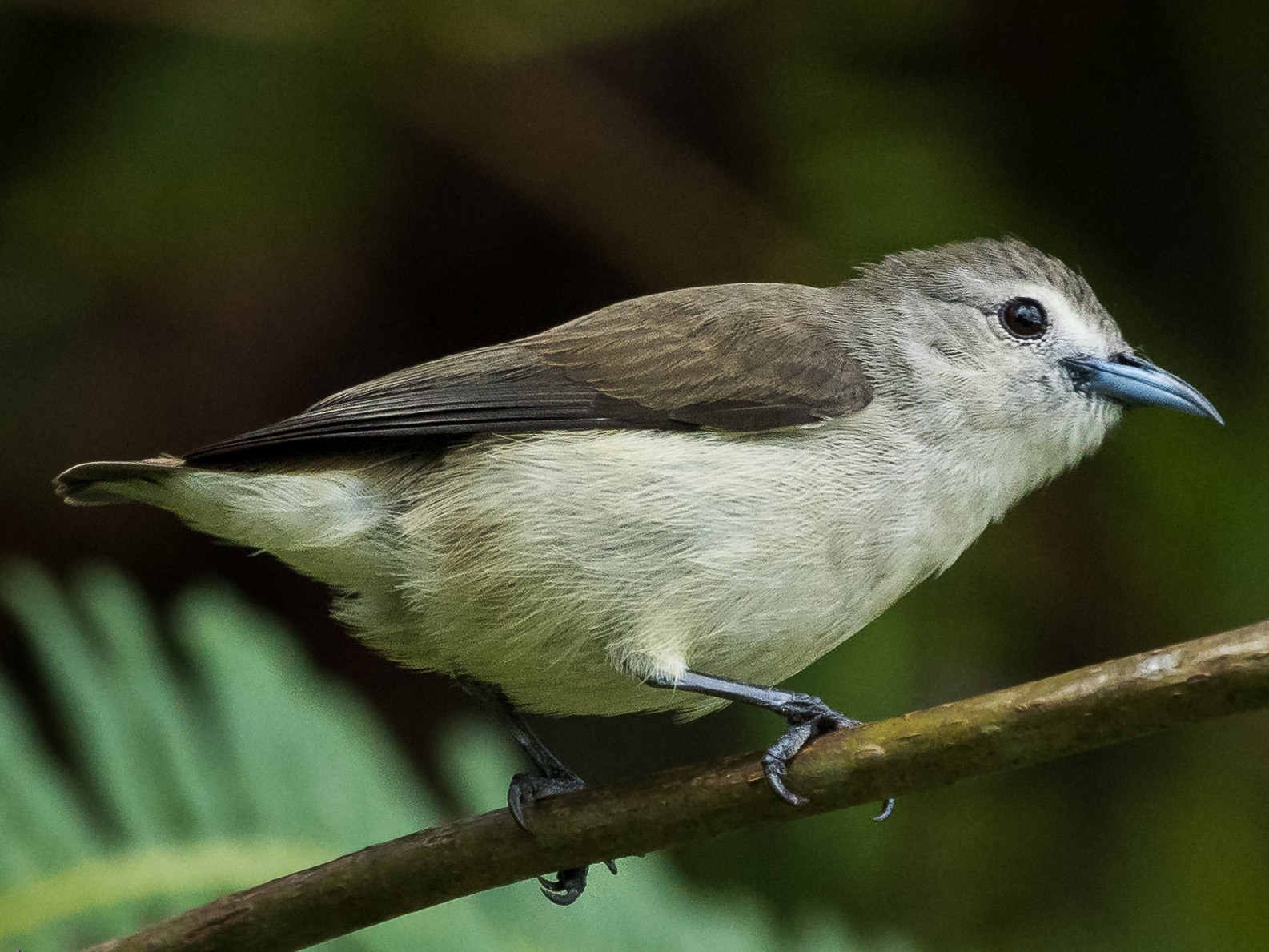 Nilgiri Flowerpecker - Nikhil Varma